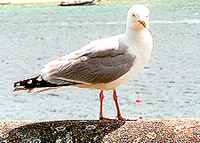Gull at Salcombe