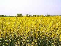 Rape Field in Nottinghamshire